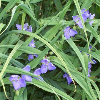 Malý obrazový atlas rostlin: Podeňka Andersonova