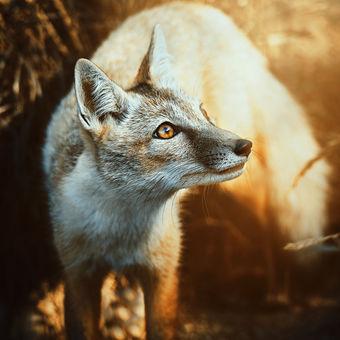 Liška korsak (Vulpes corsac)
