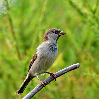 Vrabeček