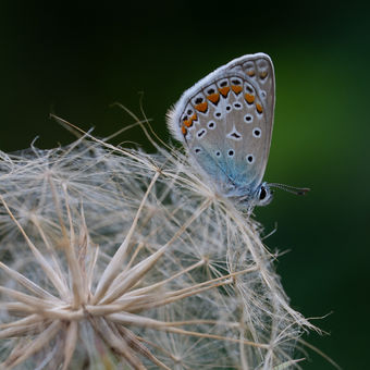 Motýl a /Zeme/gula