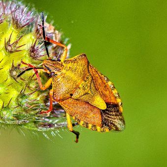 Kněžice měnlivá (Carpocoris pudicus)