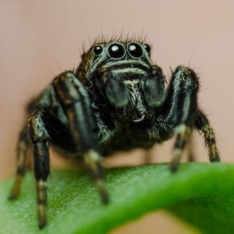 Skákavka černá (Evarcha arcuata)