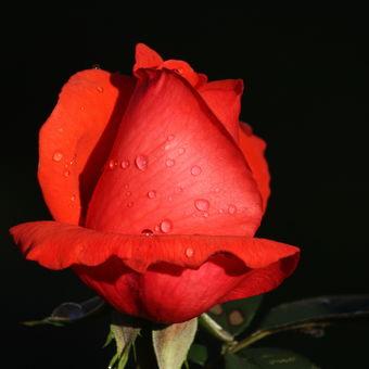 podívej kvete růže