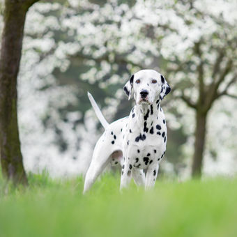 spotted spring