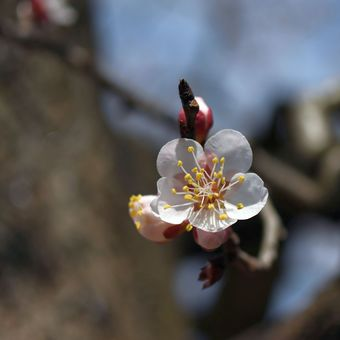 První letošní květy meruňky.