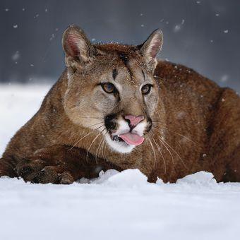 Puma na sněhu