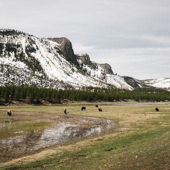 Bizoni v Yellowstonu, Montana, USA