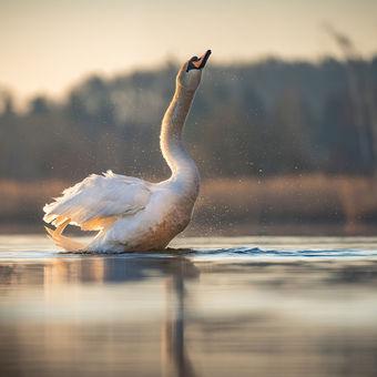 Ranní očista labutě