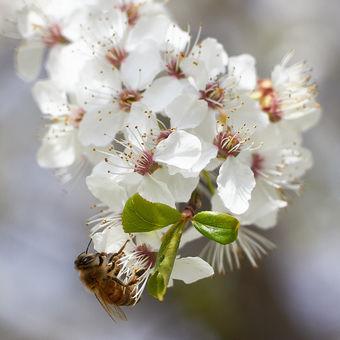 Když kvetou špendlíky
