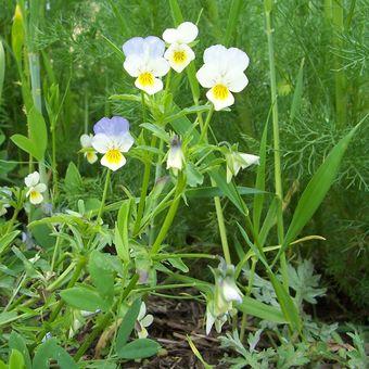 Malý obrazový atlas rostlin: Violka trojbarevná