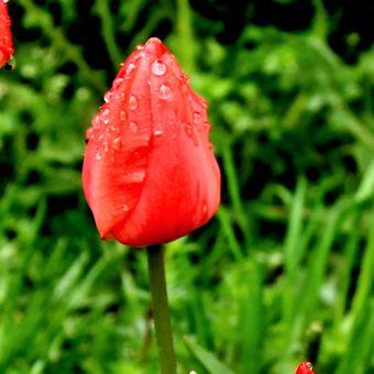 tulipány po dešti