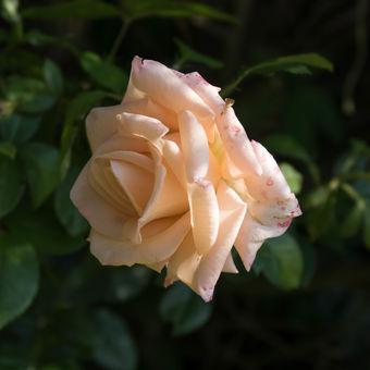 růže z Vrbčan na sklonku letního dne