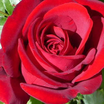 L'important c'est la rose (Gilbert Bécaud)