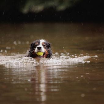 A další Australan co zase rád házení tenisáku do vody.