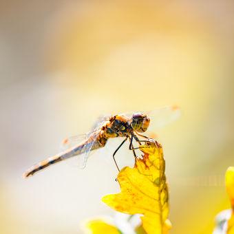 Podzimní vážka žíhaná