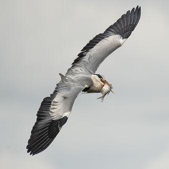 Křídla dravce