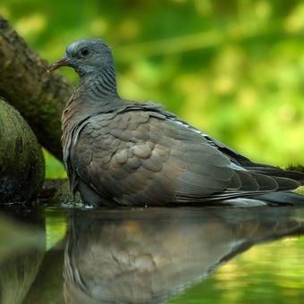 Divoký holub
