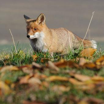 Podzimní lišák