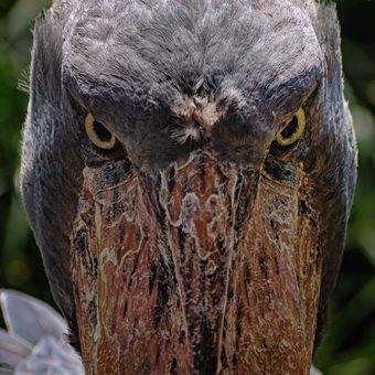 ČLUNOZOBEC AFRICKÝ (Balaeniceps Rex)