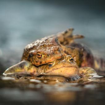 Žabí láska