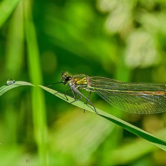 Motýlice a kapka vody