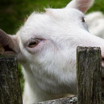 Koza nááááá