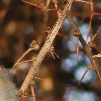 Vrabec v trní.
