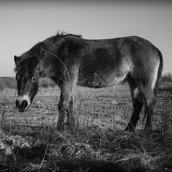 Divoký kůň