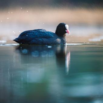 Lyska černá (Fulica atra)