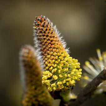 Kvetoucí vrba....
