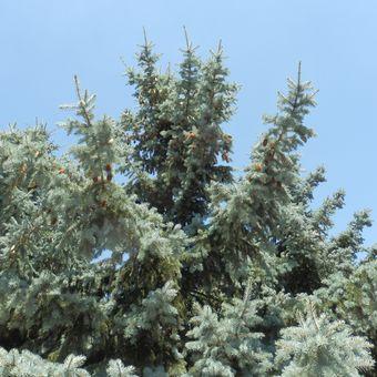 Malý obrazový atlas rostlin: Smrk pichlavý