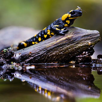 Salamandra salamandra II.