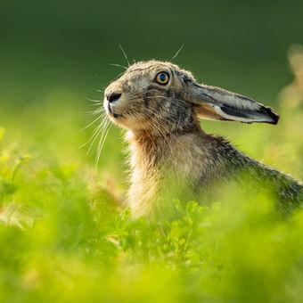 """""""Júnový zajačik""""."""