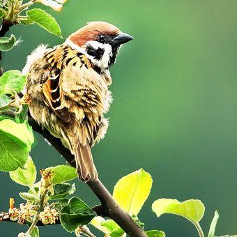 Vrabčí pozorování