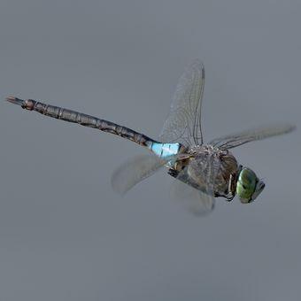 Šídlo tmavé - samička