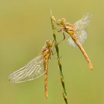 Vážky žíhané