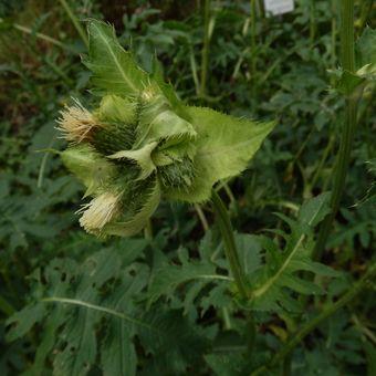 Malý obrazový atlas rostlin: Pcháč zelinný