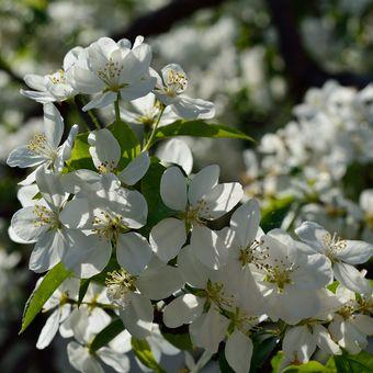 rozkvetlá jabloň z Průhonic