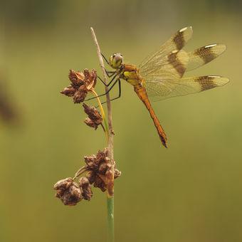 Vážka podhorní