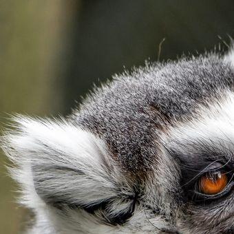 Krmení lemurů kata