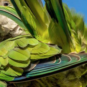 Papoušek mniší a údržba peří