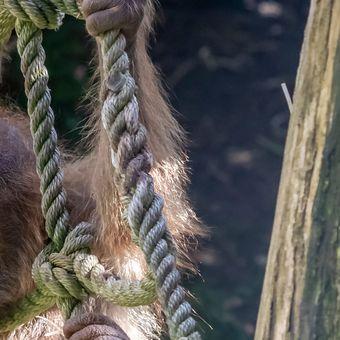 Orangutan sumaterský - Kawi
