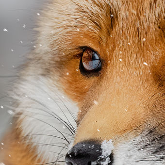 Liška Bystrouška a první sníh