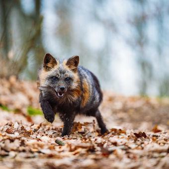 Černě zbarvená liška