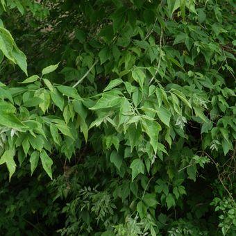Malý obrazový atlas rostlin: Javor jasanolistý