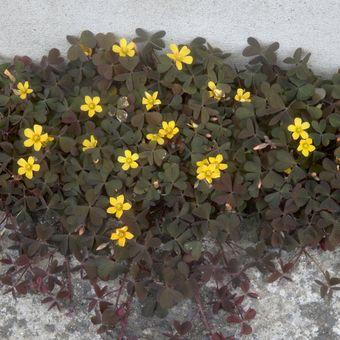 Malý obrazový atlas rostlin: Šťavel růžkatý