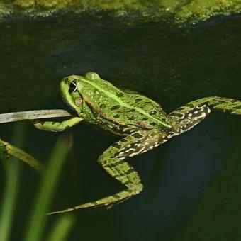 Zelený akrobat