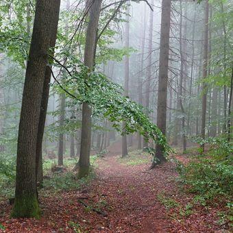 V lesní mlze