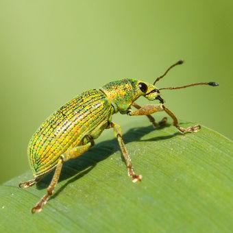 Listohlod zlatozelený  (Phyllobius argentatus )