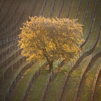 Královna vinic